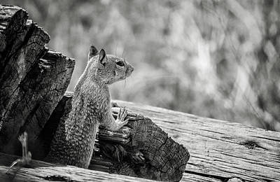 Photograph - California Ground Squirrel 7 Bw by Rick Mosher