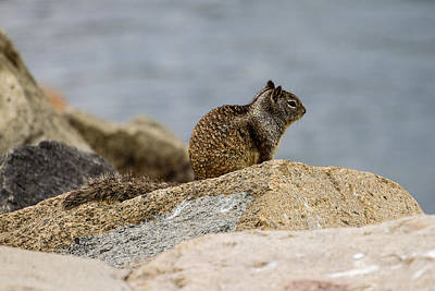 Photograph - California Ground Squirrel by Ben Graham