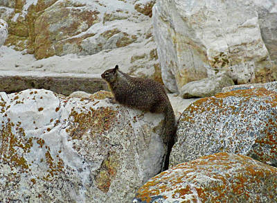 Photograph - California Ground Squirrel-dom by Robert Meyers-Lussier