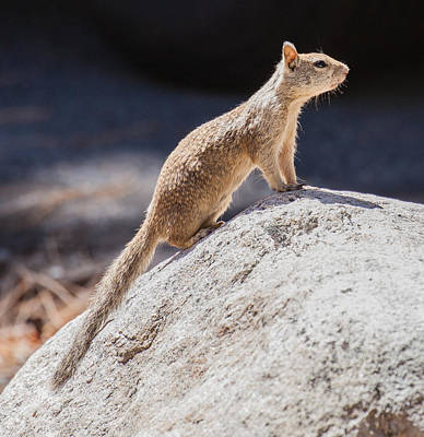 Photograph - California Ground Squirrel On A Rock by Melinda Fawver