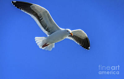 Photograph - California Gull by Robert Bales