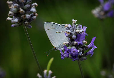 Photograph - California Hairstreak Butterfly by Morgan Wright