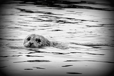 Photograph - California Harbor Seal by Carla Parris