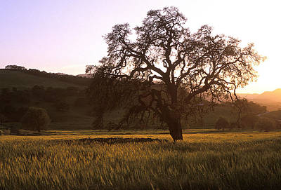 California Hwy 25 Oak Art Print by Kathy Yates