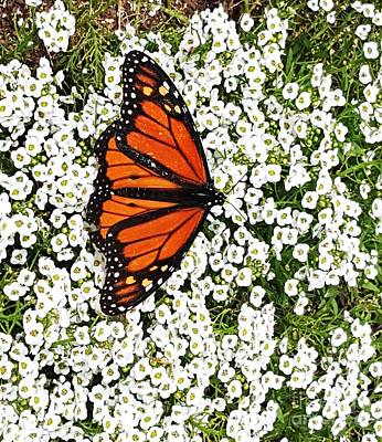 Flowers On Line Photograph - California Monarch Butterfly by Jasna Gopic