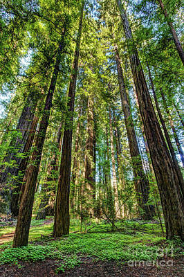 Photograph - California Mountains -  A  Gathering Of Redwoods by Dan Carmichael