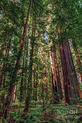 Photograph - California Mountains -  Crowded Redwoods by Dan Carmichael