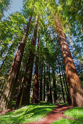 Painting - California Mountains -  Trail Thru Redwood Shadows Ap by Dan Carmichael