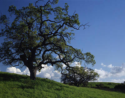 Photograph - California Oak by John Farley