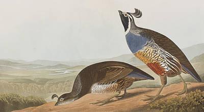 Partridge Painting - California Partridge by John James Audubon