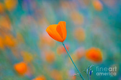 Photograph - California Poppies 1 by Anthony Bonafede