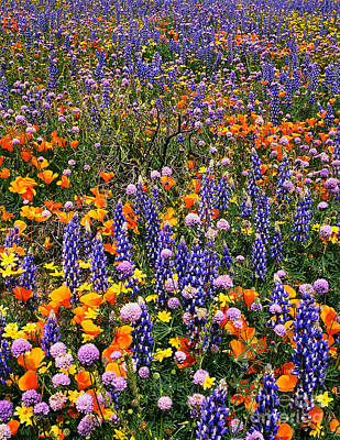 Photograph - California Poppies And Bentham Lupines In California  by Dave Welling