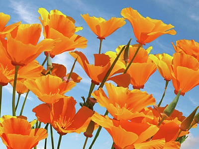 Photograph - California Poppies And Blue Sky by Gill Billington