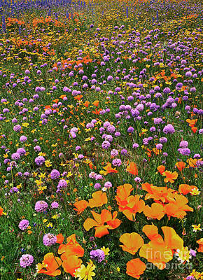 Photograph - California Poppies And Globe Gilia Wild California by Dave Welling