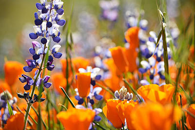 California Poppies And Lupine Art Print by Kyle Hanson