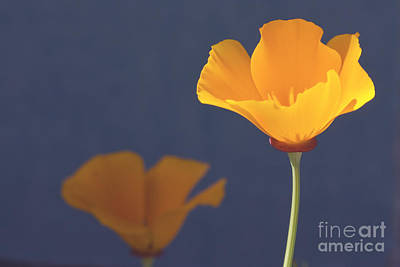 Photograph - California Poppies by Cindy Garber Iverson