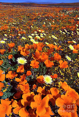 Photograph - California Poppies Desert Dandelion Lancaster California by Dave Welling