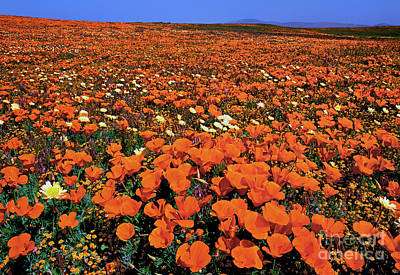 Photograph - California Poppies Desert Dandelions California by Dave Welling