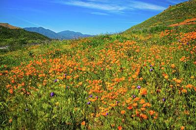 Blue Dick Photograph - California Poppies Gone Wild by Lynn Bauer