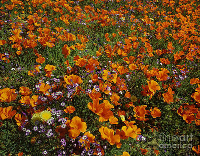 Photograph - California Poppies Wildflowers Lancaster California by Dave Welling