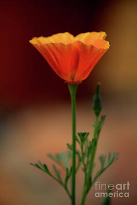 Photograph - California Poppy 2 by Victor K