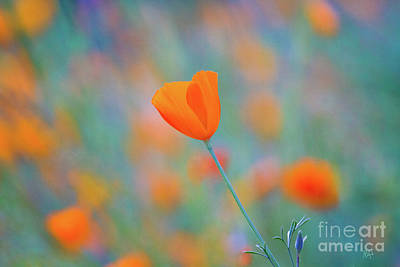 Floral Photograph - Spring Poppy by Anthony Bonafede