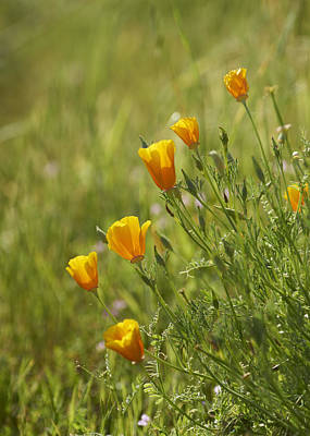 California Poppy Art Print by Doug Herr