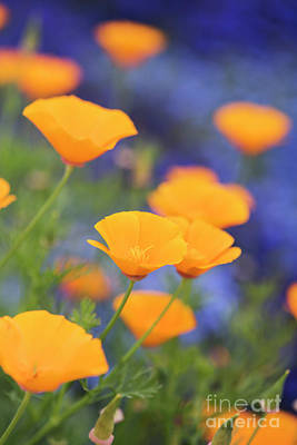 Photograph - California Poppy Flowers by Tim Gainey