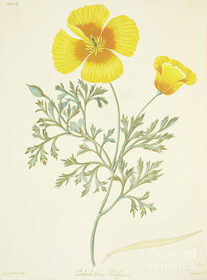 California Poppy Art Print by Margaret Roscoe