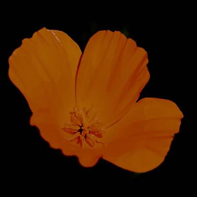Photograph - California Poppy On Black by Lynda Anne Williams