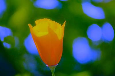 Photograph - California Poppy by Sherri Meyer