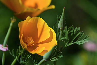 Photograph - California Poppy Sunny by Robert Potts