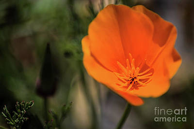 Photograph - California Poppy by Suzanne Luft
