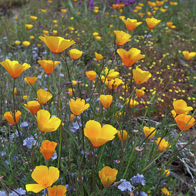 Photograph - California Poppy Wildflowers by Cascade Colors