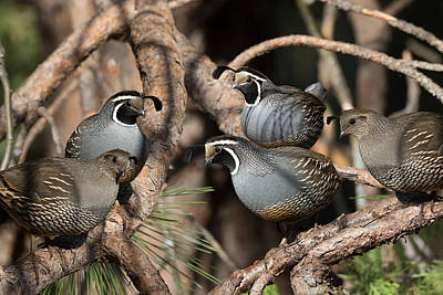 Photograph - California Quail Covey  by Kathleen Bishop