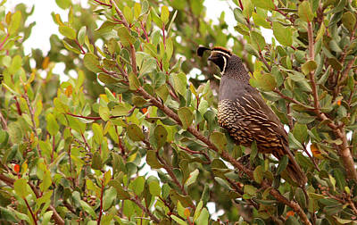 Photograph - California Quail  by Robin Street-Morris