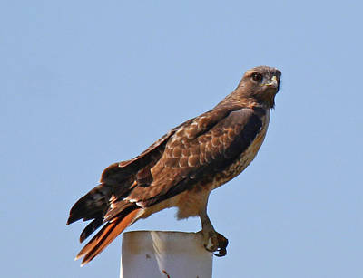 Photograph - California Red Tailed Hawk by Mercedes Martishius