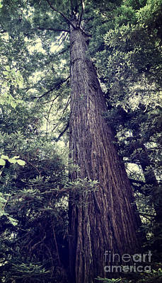 Photograph - California Redwood Tree by Methune Hively