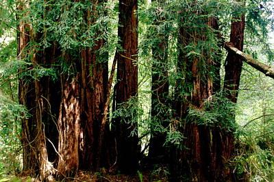 California Redwoods Art Print by Sonja Anderson