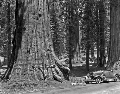 California Sequoia Tree Art Print by Underwood Archives