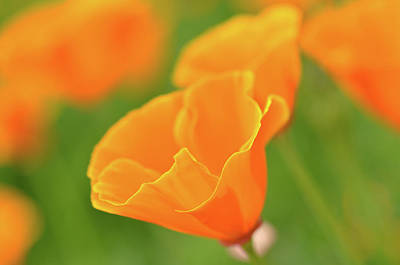 Photograph - California Spring Poppy Macro Close Up by Brandon Bourdages