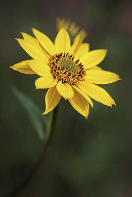 Photograph - California Sunflower by Alexander Kunz