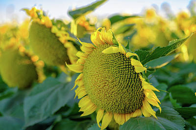 Photograph - California Sunflowers by Robin Mayoff