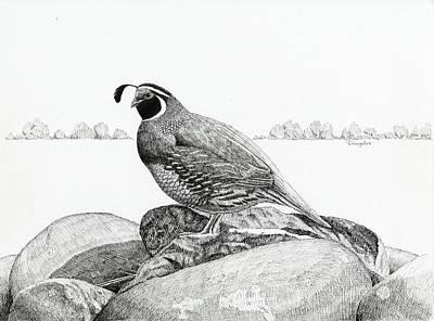 California Valley Quail Art Print