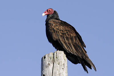 Photograph - California Vulture by Wes and Dotty Weber
