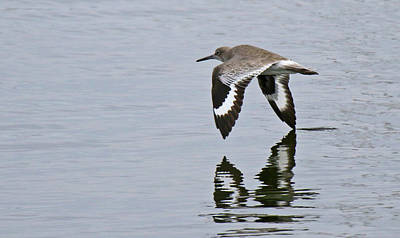 Photograph - California Willet by Mercedes Martishius