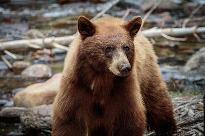 Photograph - Californian Cinnamon Bear  by Duncan Selby