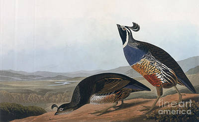 Engraving Drawing - Californian Partridge by John James Audubon