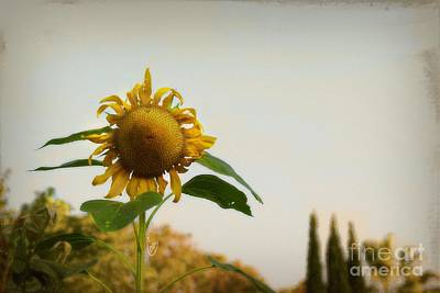 Tuscan Sunflowers Photograph - Californian Tuscany by Cindy Garber Iverson