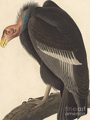Vulture Painting - Californian Vulture by John James Audubon